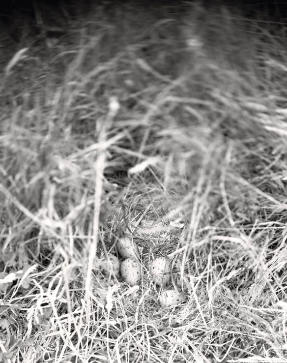 Pukeko Nest